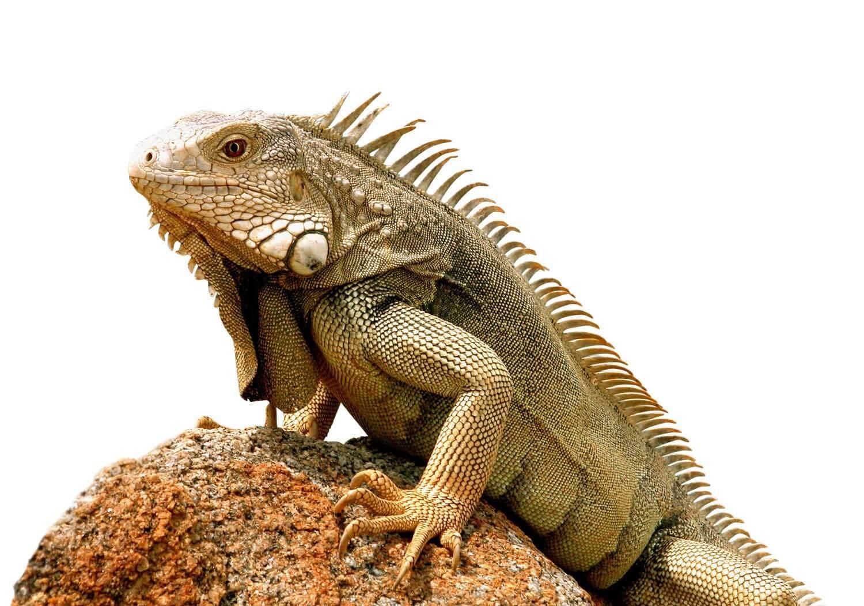 Freistellen Bildbearbeitung Tiere Leguan