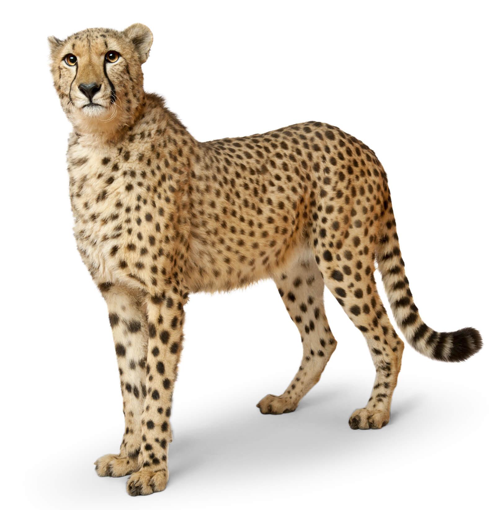Freistellen Bildbearbeitung Tier Leopard