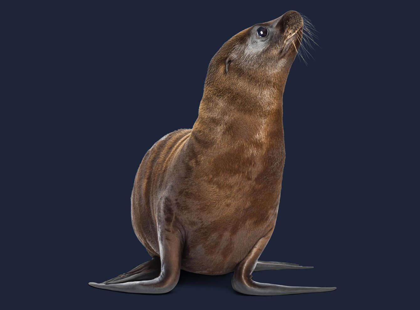 Freistellen Bildbearbeitung Tiere Seelöwe