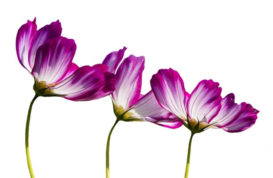Blumen freigestellt