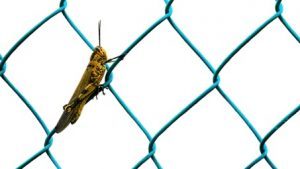 Heuschrecke freigestellt Zaun